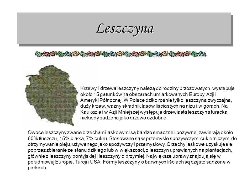 LeszczynaLeszczyna Krzewy i drzewa leszczyny należą do rodziny brzozowatych, występuje około 15 gatunków na obszarach umiarkowanych Europy, Azji i Ame
