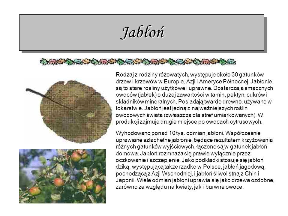 JabłońJabłoń Rodzaj z rodziny różowatych, występuje około 30 gatunków drzew i krzewów w Europie, Azji i Ameryce Północnej. Jabłonie są to stare roślin