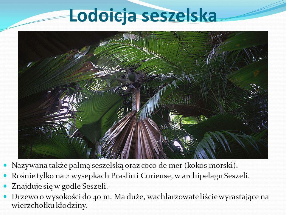Lodoicja seszelska Nazywana także palmą seszelską oraz coco de mer (kokos morski). Rośnie tylko na 2 wysepkach Praslin i Curieuse, w archipelagu Sesze