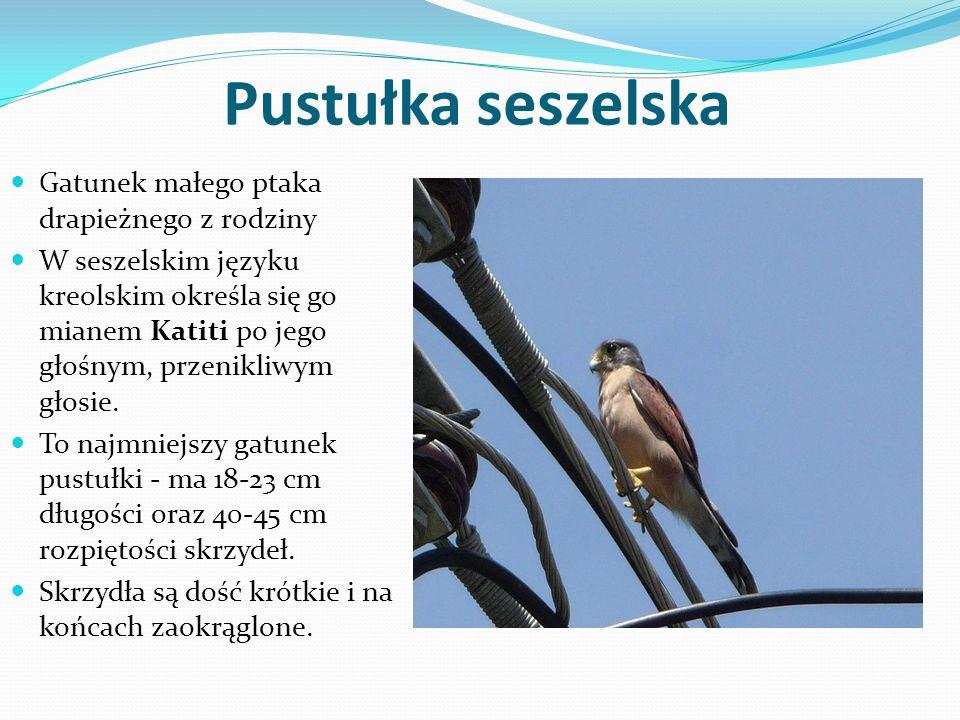Pustułka seszelska Gatunek małego ptaka drapieżnego z rodziny W seszelskim języku kreolskim określa się go mianem Katiti po jego głośnym, przenikliwym