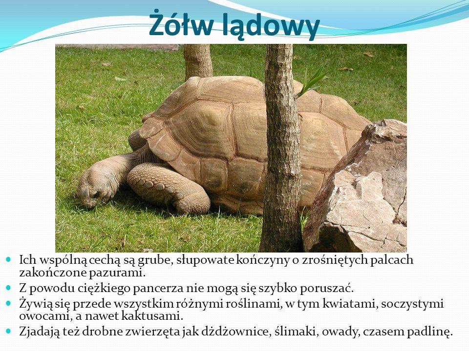 Żółw lądowy Ich wspólną cechą są grube, słupowate kończyny o zrośniętych palcach zakończone pazurami. Z powodu ciężkiego pancerza nie mogą się szybko
