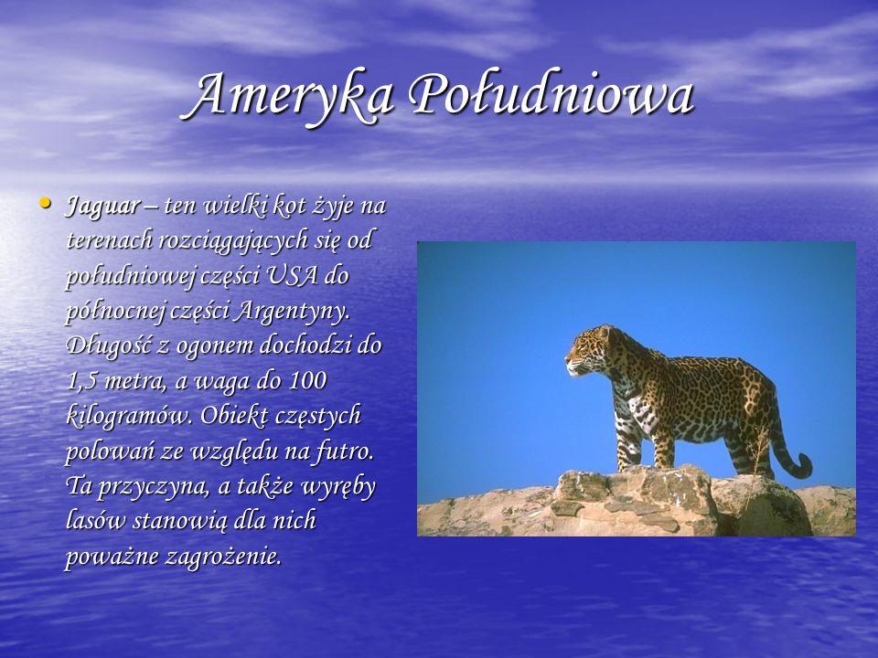 Ameryka Południowa Ameryka Południowa Jaguar – ten wielki kot żyje na terenach rozciągających się od południowej części USA do północnej części Argent