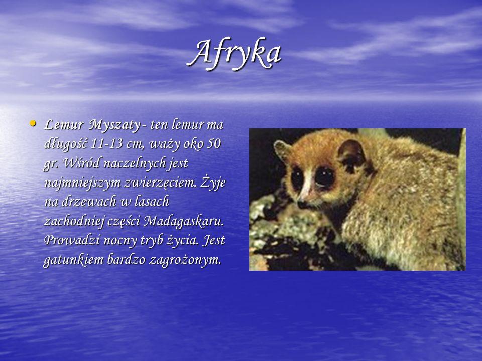 Afryka Afryka Lemur Myszaty - ten lemur ma długość 11-13 cm, waży oko 50 gr. Wśród naczelnych jest najmniejszym zwierzęciem. Żyje na drzewach w lasach