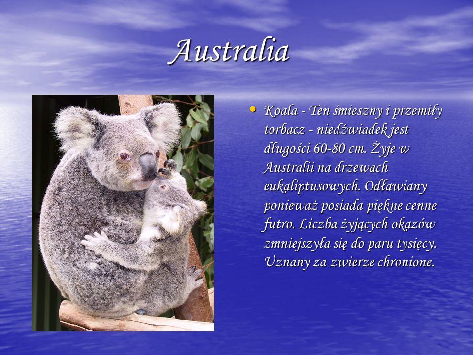 Australia Australia Koala - Ten śmieszny i przemiły torbacz - niedźwiadek jest długości 60-80 cm. Żyje w Australii na drzewach eukaliptusowych. Odławi