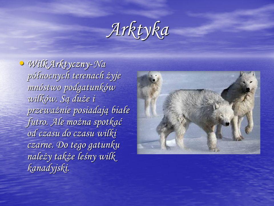 Arktyka Arktyka Wilk Arktyczny- Na północnych terenach żyje mnóstwo podgatunków wilków. Są duże i przeważnie posiadają białe futro. Ale można spotkać