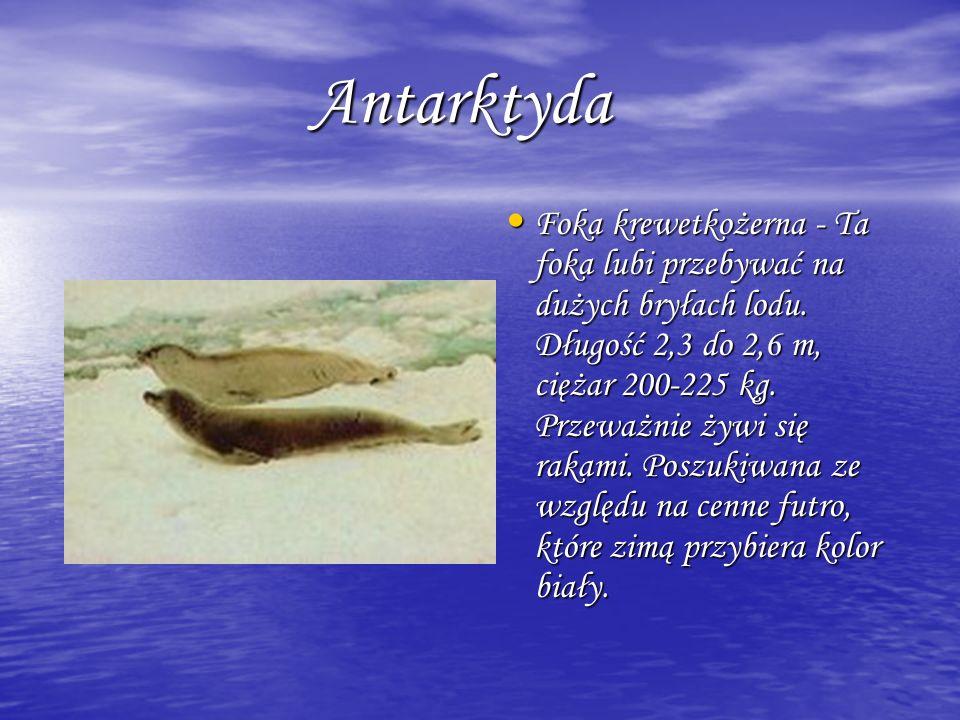 Antarktyda Antarktyda Foka krewetkożerna - Ta foka lubi przebywać na dużych bryłach lodu. Długość 2,3 do 2,6 m, ciężar 200-225 kg. Przeważnie żywi się