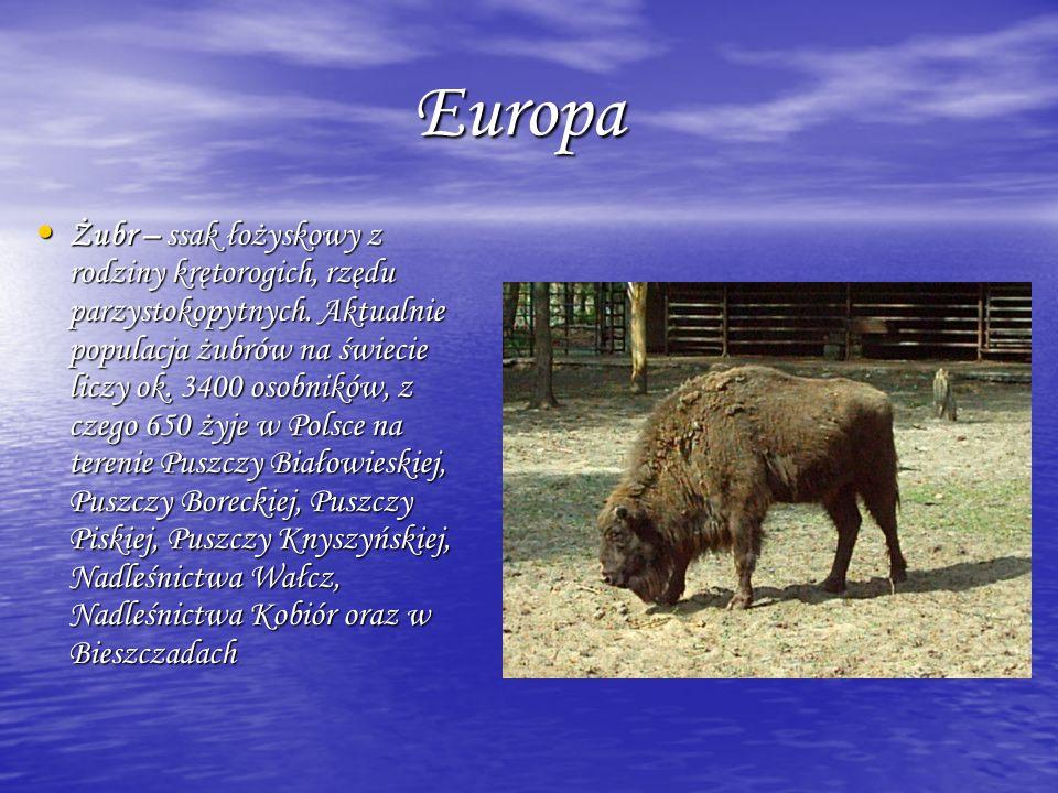Europa Europa Żubr – ssak łożyskowy z rodziny krętorogich, rzędu parzystokopytnych. Aktualnie populacja żubrów na świecie liczy ok. 3400 osobników, z