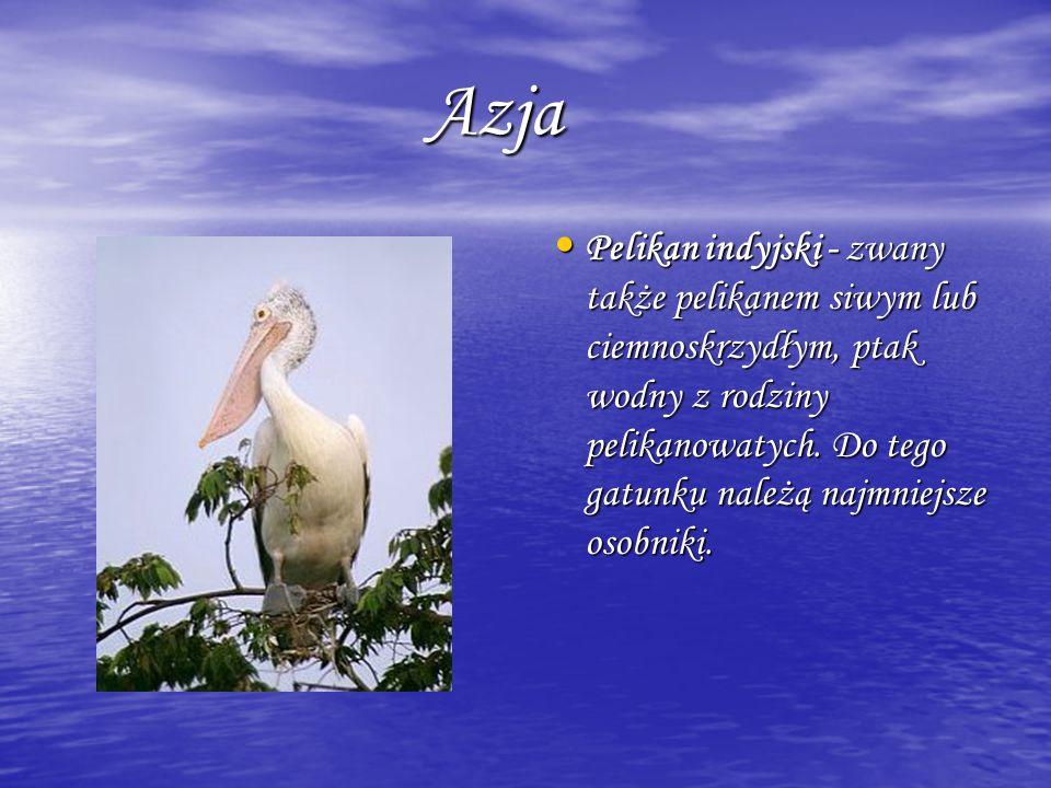 Azja Azja Pelikan indyjski - zwany także pelikanem siwym lub ciemnoskrzydłym, ptak wodny z rodziny pelikanowatych. Do tego gatunku należą najmniejsze