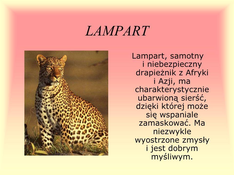 LAMPART Lampart, samotny i niebezpieczny drapieżnik z Afryki i Azji, ma charakterystycznie ubarwioną sierść, dzięki której może się wspaniale zamaskow