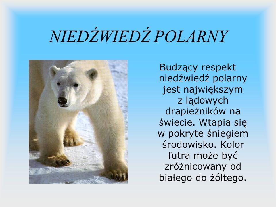 NIEDŹWIEDŹ POLARNY Budzący respekt niedźwiedź polarny jest największym z lądowych drapieżników na świecie. Wtapia się w pokryte śniegiem środowisko. K