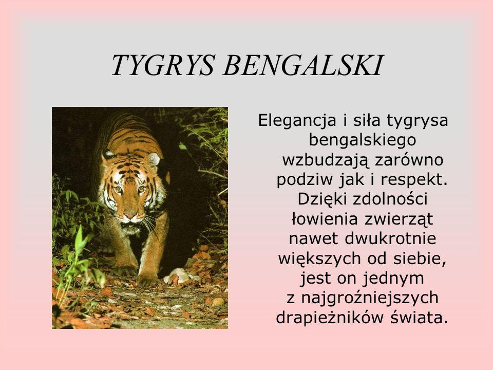 TYGRYS BENGALSKI Elegancja i siła tygrysa bengalskiego wzbudzają zarówno podziw jak i respekt. Dzięki zdolności łowienia zwierząt nawet dwukrotnie wię