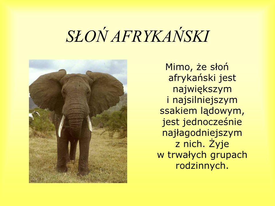 SŁOŃ AFRYKAŃSKI Mimo, że słoń afrykański jest największym i najsilniejszym ssakiem lądowym, jest jednocześnie najłagodniejszym z nich. Żyje w trwałych
