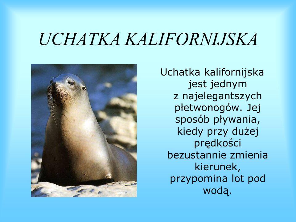 UCHATKA KALIFORNIJSKA Uchatka kalifornijska jest jednym z najelegantszych płetwonogów. Jej sposób pływania, kiedy przy dużej prędkości bezustannie zmi