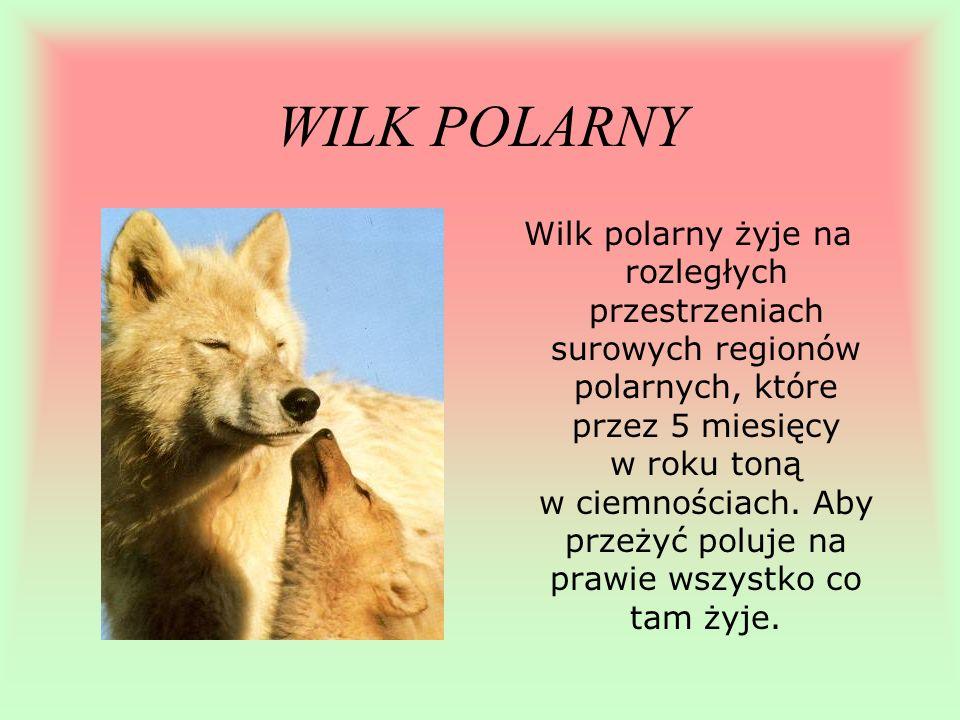 WILK POLARNY Wilk polarny żyje na rozległych przestrzeniach surowych regionów polarnych, które przez 5 miesięcy w roku toną w ciemnościach. Aby przeży