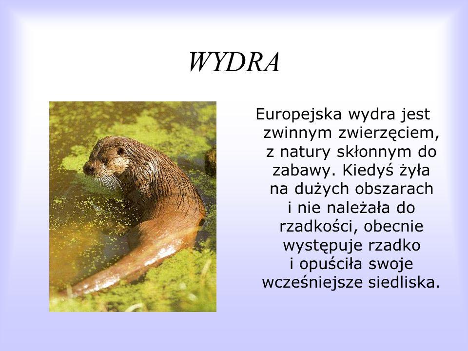 WYDRA Europejska wydra jest zwinnym zwierzęciem, z natury skłonnym do zabawy. Kiedyś żyła na dużych obszarach i nie należała do rzadkości, obecnie wys