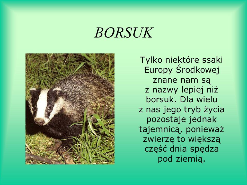 BORSUK Tylko niektóre ssaki Europy Środkowej znane nam są z nazwy lepiej niż borsuk. Dla wielu z nas jego tryb życia pozostaje jednak tajemnicą, ponie