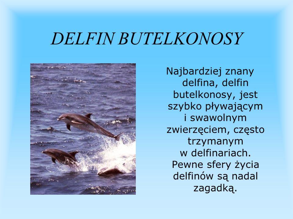 DELFIN BUTELKONOSY Najbardziej znany delfina, delfin butelkonosy, jest szybko pływającym i swawolnym zwierzęciem, często trzymanym w delfinariach. Pew