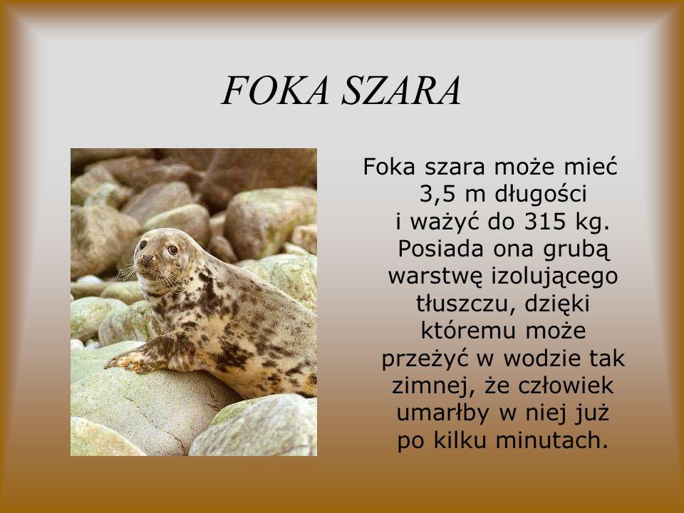 FOKA SZARA Foka szara może mieć 3,5 m długości i ważyć do 315 kg. Posiada ona grubą warstwę izolującego tłuszczu, dzięki któremu może przeżyć w wodzie