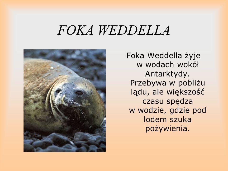 FOKA WEDDELLA Foka Weddella żyje w wodach wokół Antarktydy. Przebywa w pobliżu lądu, ale większość czasu spędza w wodzie, gdzie pod lodem szuka pożywi