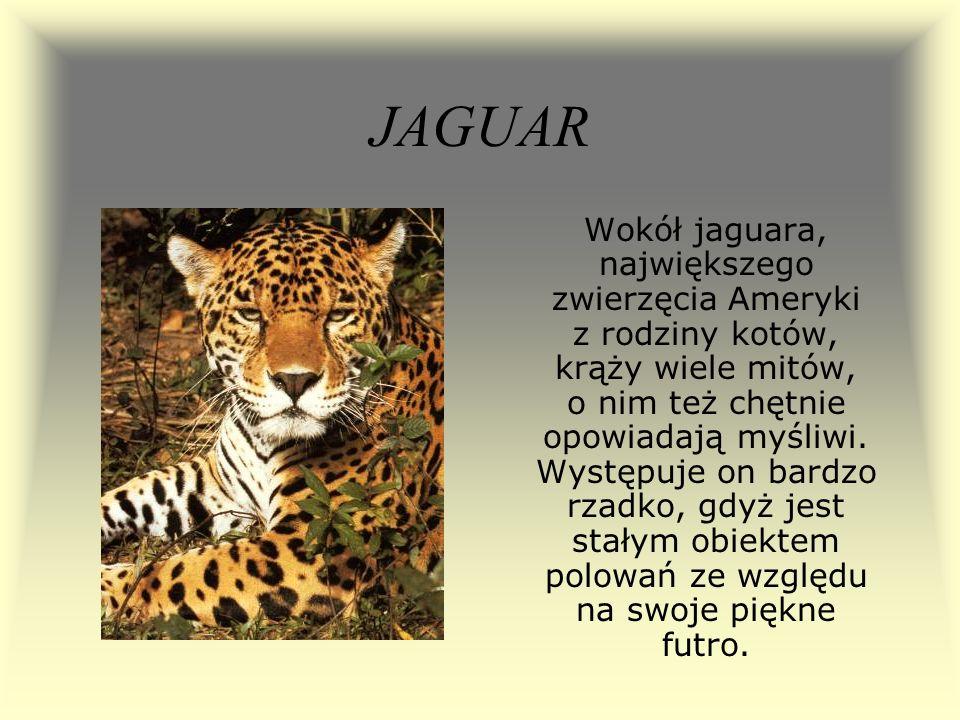 JAGUAR Wokół jaguara, największego zwierzęcia Ameryki z rodziny kotów, krąży wiele mitów, o nim też chętnie opowiadają myśliwi. Występuje on bardzo rz