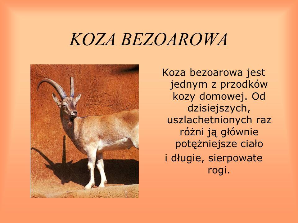 KOZA BEZOAROWA Koza bezoarowa jest jednym z przodków kozy domowej. Od dzisiejszych, uszlachetnionych raz różni ją głównie potężniejsze ciało i długie,