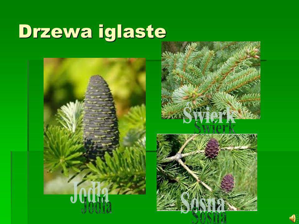 Świerk – rodzaj wiecznie zielonych drzew z rodziny sosnowatych, który obejmuje około 35 gatunków.