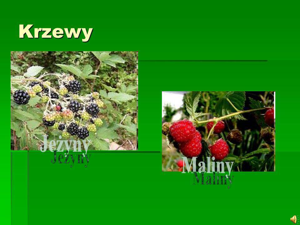 Malina - grupa gatunków z rodzaju Rubus L.