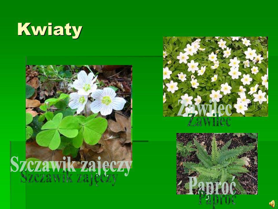 Szczawik zajęczy (Oxalis acetosella L.) – gatunek rośliny z rodziny szczawikowatych (Oxalidaceae).