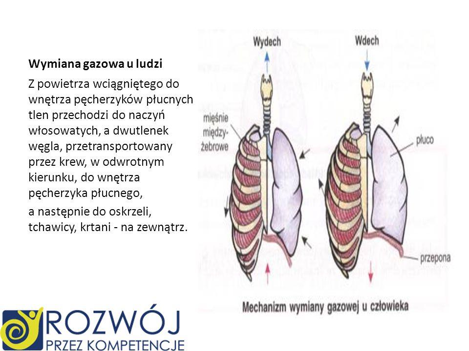 Wymiana gazowa u ludzi Z powietrza wciągniętego do wnętrza pęcherzyków płucnych tlen przechodzi do naczyń włosowatych, a dwutlenek węgla, przetranspor