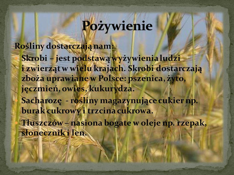 Rośliny dostarczają nam: Skrobi – jest podstawą wyżywienia ludzi i zwierząt w wielu krajach. Skrobi dostarczają zboża uprawiane w Polsce: pszenica, ży