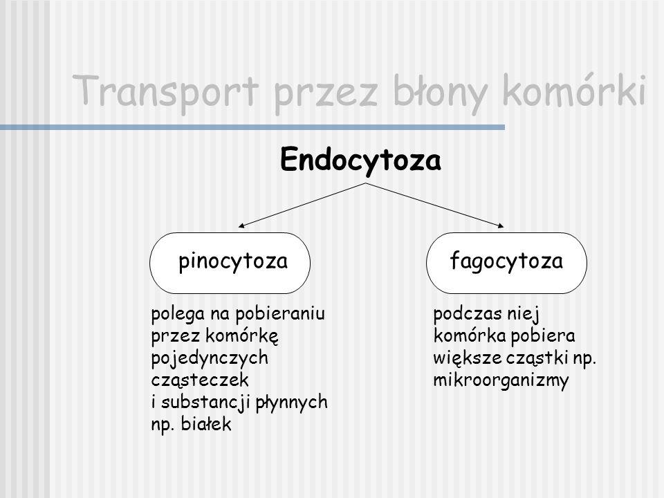 Transport przez błony komórki Endocytoza pinocytozafagocytoza polega na pobieraniu przez komórkę pojedynczych cząsteczek i substancji płynnych np. bia