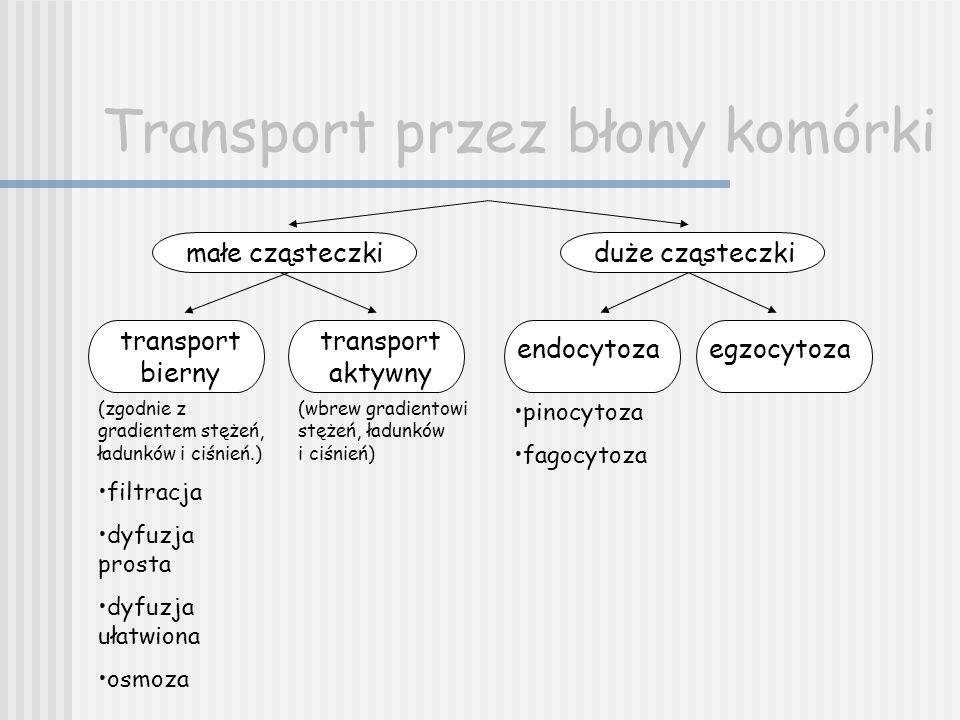 Transport przez błony komórki małe cząsteczkiduże cząsteczki transport bierny transport aktywny endocytozaegzocytoza pinocytoza fagocytoza (zgodnie z