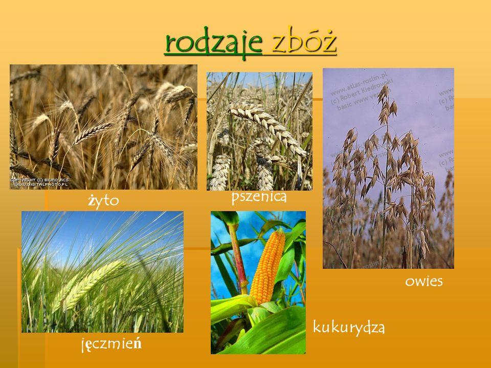 Zboża dzielimy na: OZIME – zboża siane jesienią JARE – zboża siane wiosną zboża ozime żytopszenicajęczmień jare kukurydzapszenicajęczmieńowies