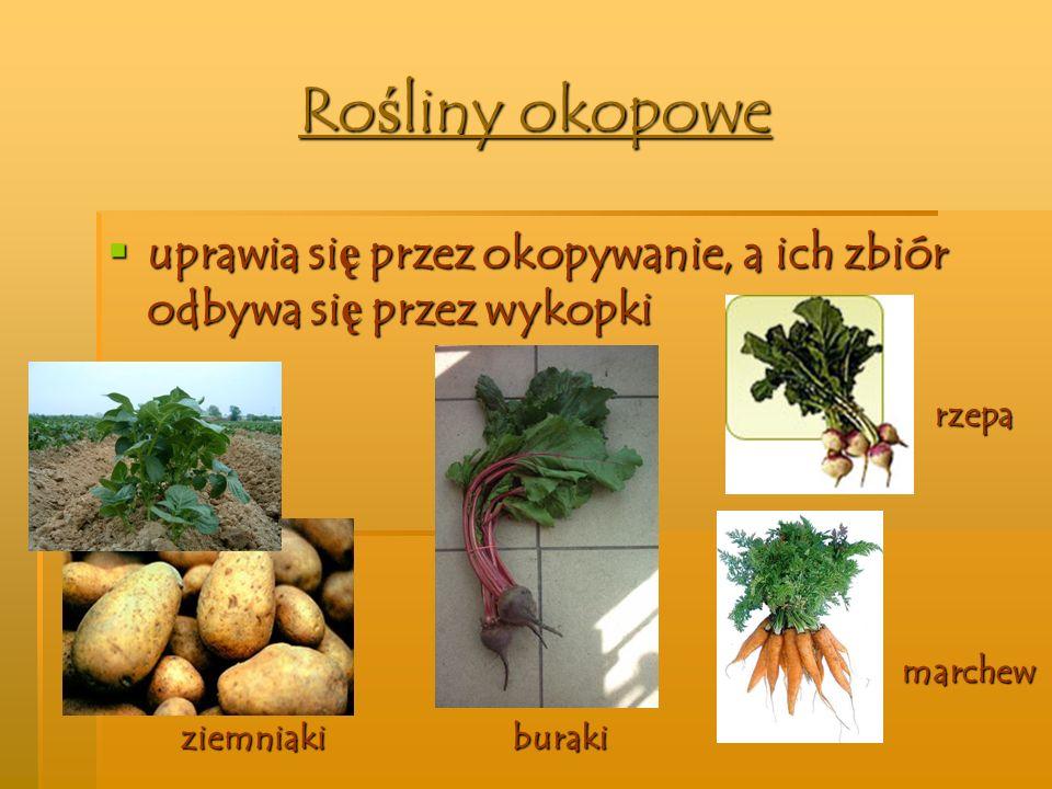 Rośliny okopowe uprawia się przez okopywanie, a ich zbiór odbywa się przez wykopki buraki marchew rzepa ziemniaki