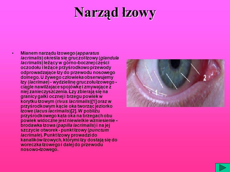 Narząd łzowy Mianem narządu łzowego (apparatus lacrimalis) określa się gruczoł łzowy (glandula lacrimalis) leżący w górno-bocznej części oczodołu i le