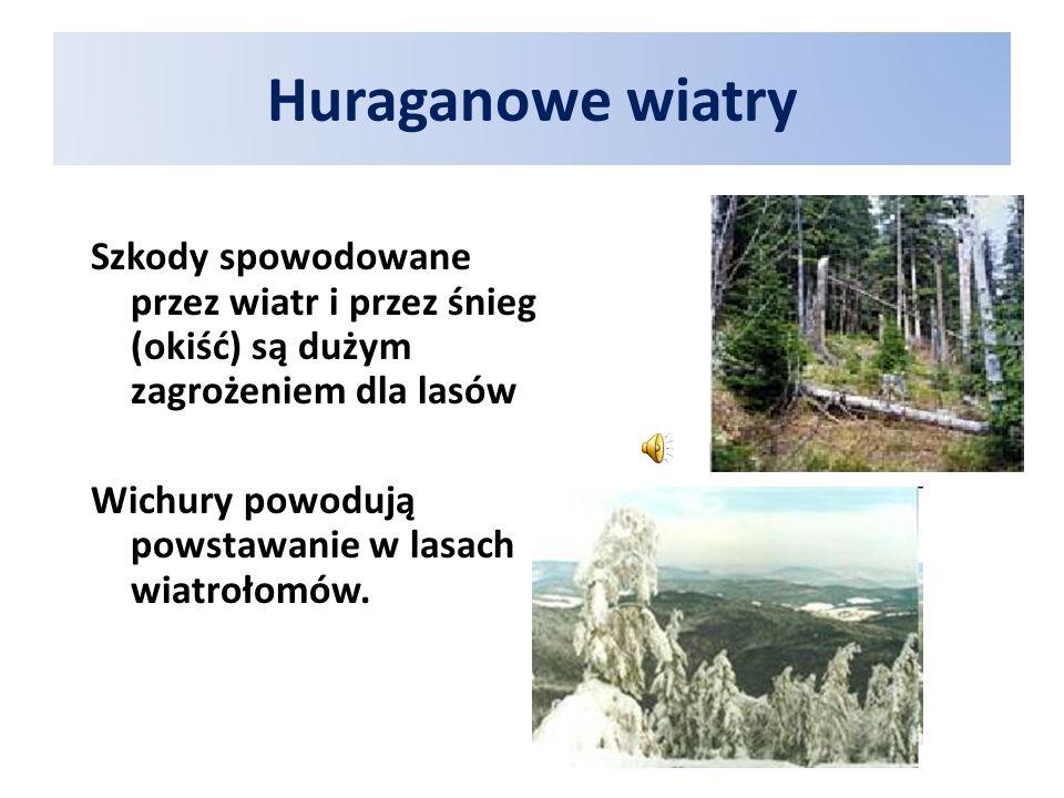 Huraganowe wiatry Szkody spowodowane przez wiatr i przez śnieg (okiść) są dużym zagrożeniem dla lasów Wichury powodują powstawanie w lasach wiatrołomów.