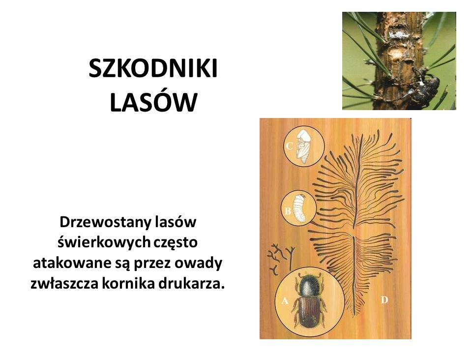 SZKODNIKI LASÓW Drzewostany lasów świerkowych często atakowane są przez owady zwłaszcza kornika drukarza.