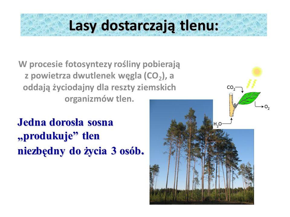 Lasy dostarczają tlenu: W procesie fotosyntezy rośliny pobierają z powietrza dwutlenek węgla (CO 2 ), a oddają życiodajny dla reszty ziemskich organizmów tlen.