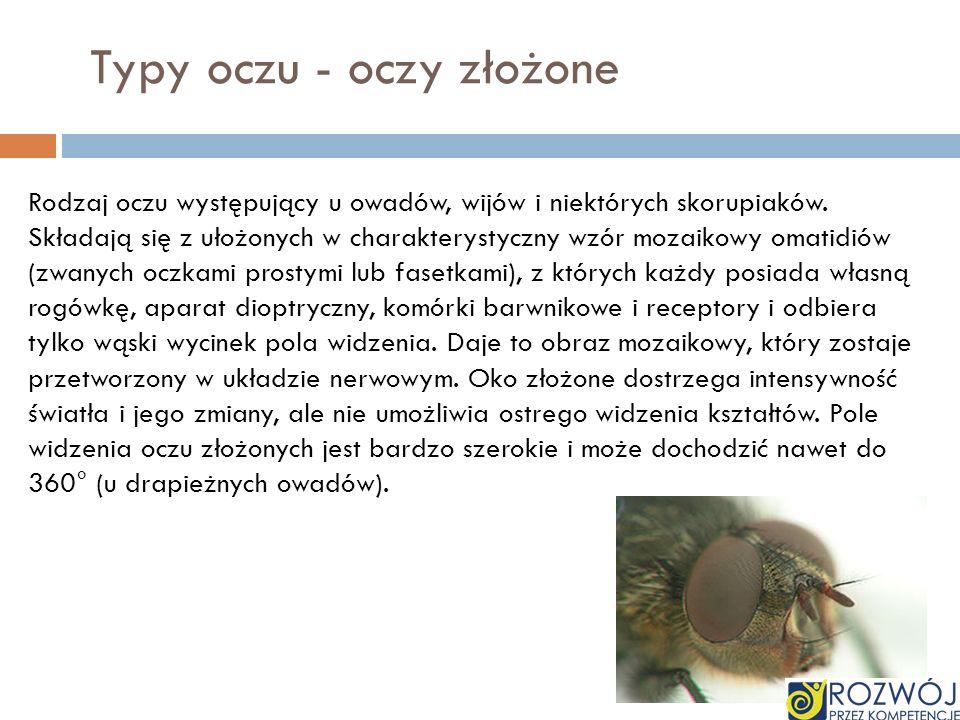 Typy oczu - oczy złożone Rodzaj oczu występujący u owadów, wijów i niektórych skorupiaków. Składają się z ułożonych w charakterystyczny wzór mozaikowy