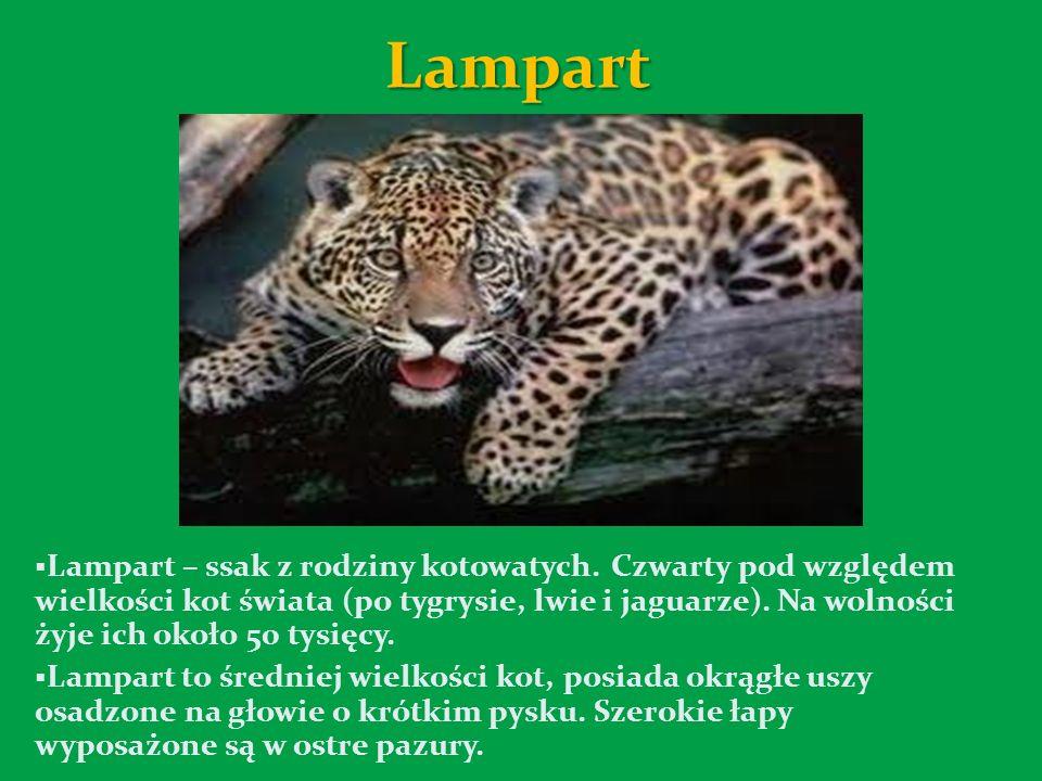 Lampart Lampart – ssak z rodziny kotowatych.