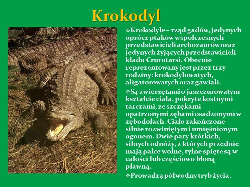 Krokodyl Krokodyle – rząd gadów, jedynych oprócz ptaków współczesnych przedstawicieli archozaurów oraz jedynych żyjących przedstawicieli kladu Crurotarsi.