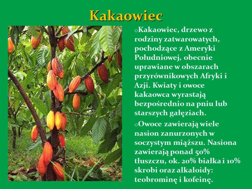 Kakaowiec o Kakaowiec, drzewo z rodziny zatwarowatych, pochodzące z Ameryki Południowej, obecnie uprawiane w obszarach przyrównikowych Afryki i Azji.