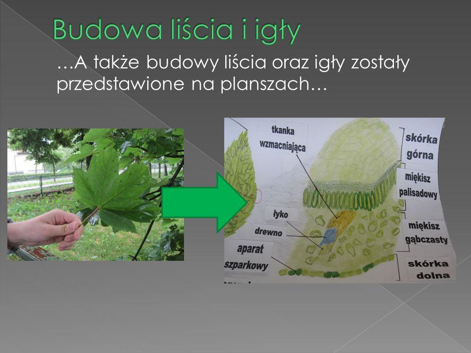 …A także budowy liścia oraz igły zostały przedstawione na planszach…