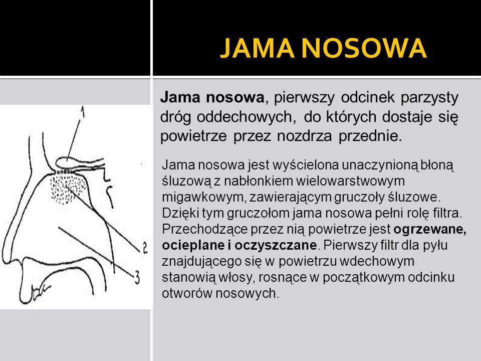 JAMA NOSOWA Jama nosowa, pierwszy odcinek parzysty dróg oddechowych, do których dostaje się powietrze przez nozdrza przednie. Jama nosowa jest wyściel