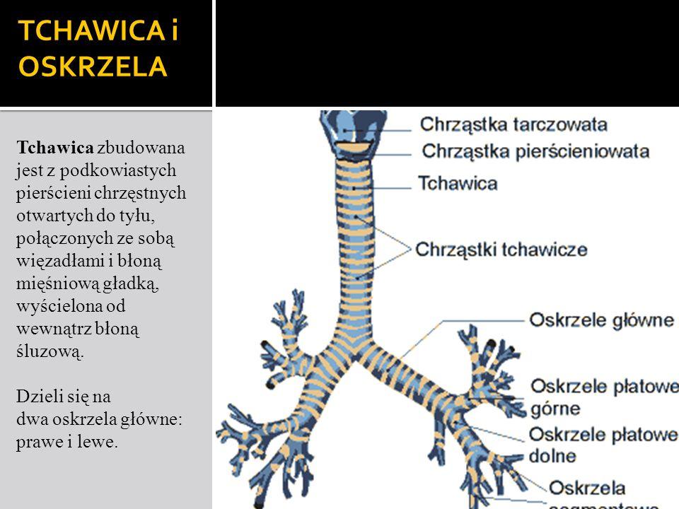 TCHAWICA i OSKRZELA Tchawica zbudowana jest z podkowiastych pierścieni chrzęstnych otwartych do tyłu, połączonych ze sobą więzadłami i błoną mięśniową