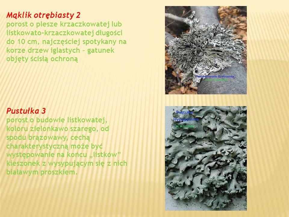 Mąklik otrębiasty 2 porost o plesze krzaczkowatej lub listkowato-krzaczkowatej długości do 10 cm, najczęściej spotykany na korze drzew iglastych – gatunek objęty ścisłą ochroną Pustułka 3 porost o budowie listkowatej, koloru zielonkawo szarego, od spodu brązowawy, cechą charakterystyczną może być występowanie na końcu listków kieszonek z wysypującym się z nich białawym proszkiem.