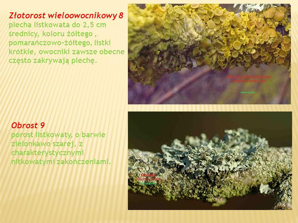 Złotorost wieloowocnikowy 8 plecha listkowata do 2,5 cm średnicy, koloru żółtego, pomarańczowo-żółtego, listki krótkie, owocniki zawsze obecne często zakrywają plechę.