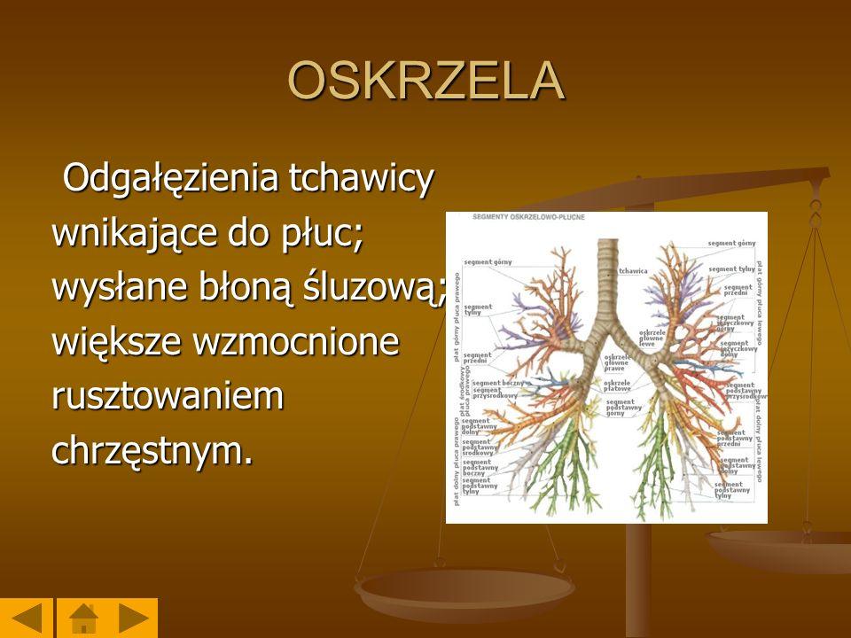 OSKRZELA Odgałęzienia tchawicy wnikające do płuc; wysłane błoną śluzową; większe wzmocnione rusztowaniem chrzęstnym.