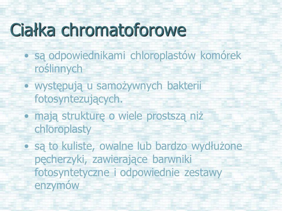 Ciałka chromatoforowe są odpowiednikami chloroplastów komórek roślinnych występują u samożywnych bakterii fotosyntezujących.
