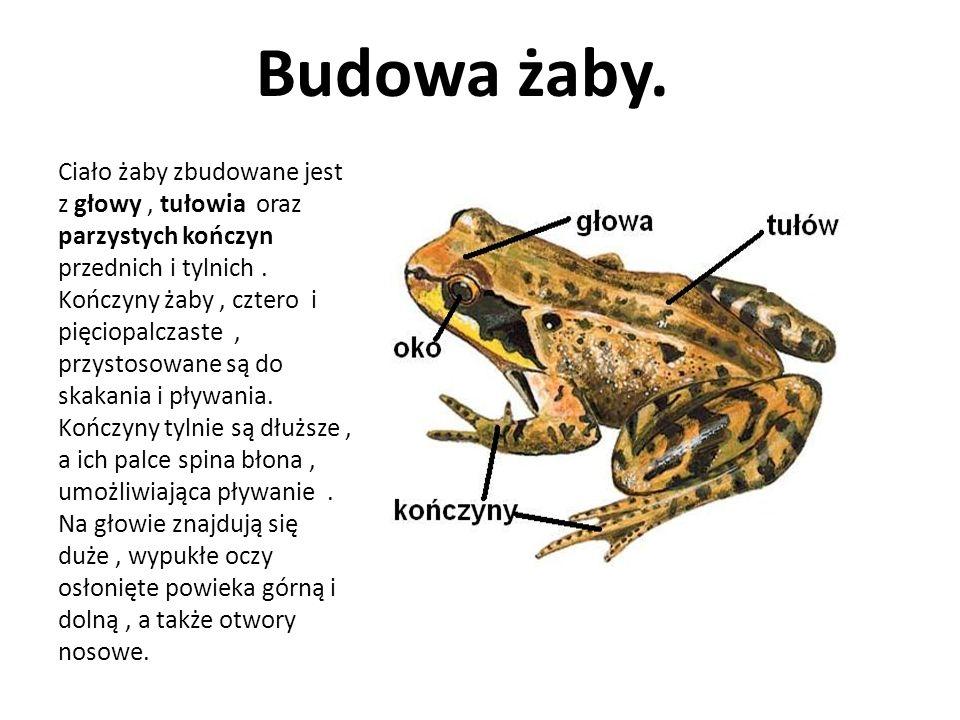 Budowa żaby. Ciało żaby zbudowane jest z głowy, tułowia oraz parzystych kończyn przednich i tylnich. Kończyny żaby, cztero i pięciopalczaste, przystos